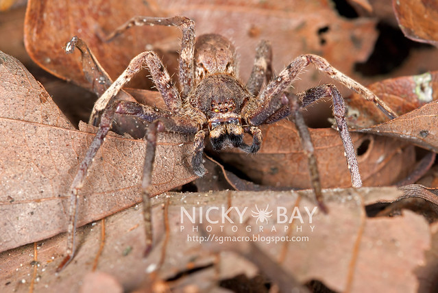 Huntsman Spider (Sparassidae) - DSC_1037