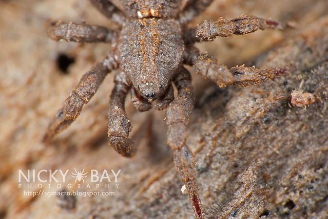 Ground Spider (Cryptothele sundaica) - DSC_0459
