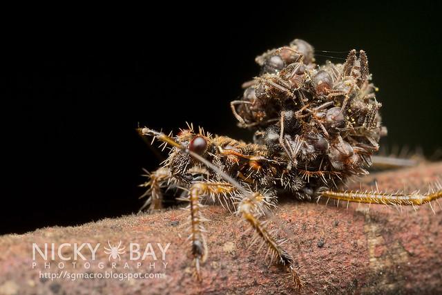 Assassin Bug (Acanthaspis sp.) - IMG_5751