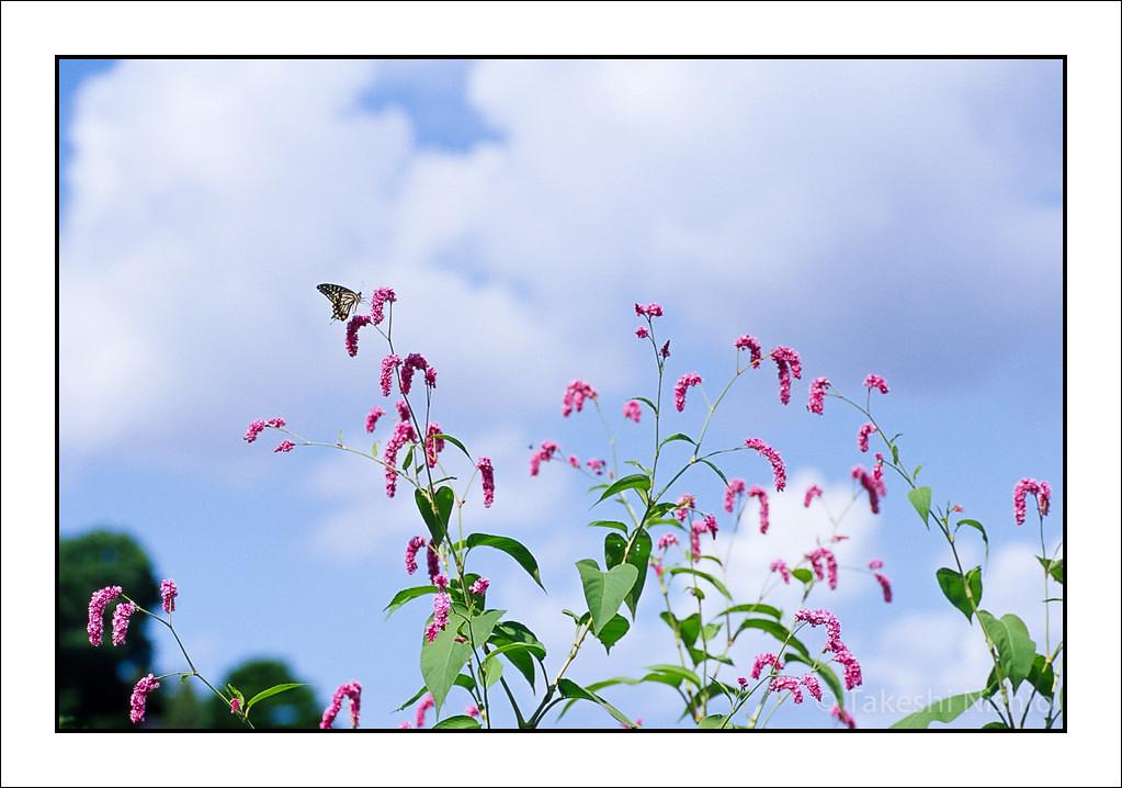 オオベニタデにアゲハチョウ / Swallowtail on Polygonum