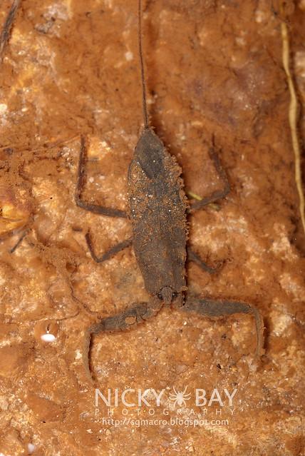 Water Scorpion (Nepidae) - DSC_8892
