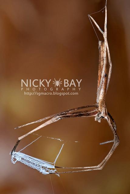 Net-Casting Spider (Deinopidae) - DSC_8706