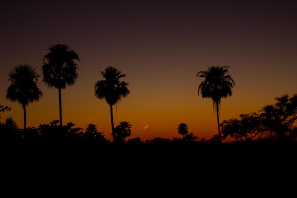 La silueta de la luna menguante puede observarse entre las palmeras, minutos antes del amanecer. (Rodrigo Ríos)