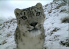 A beautiful snow leopard inspecting a camera trap in Khunjerab National Park, within the Gilgit Baltistan region of Pakistan.