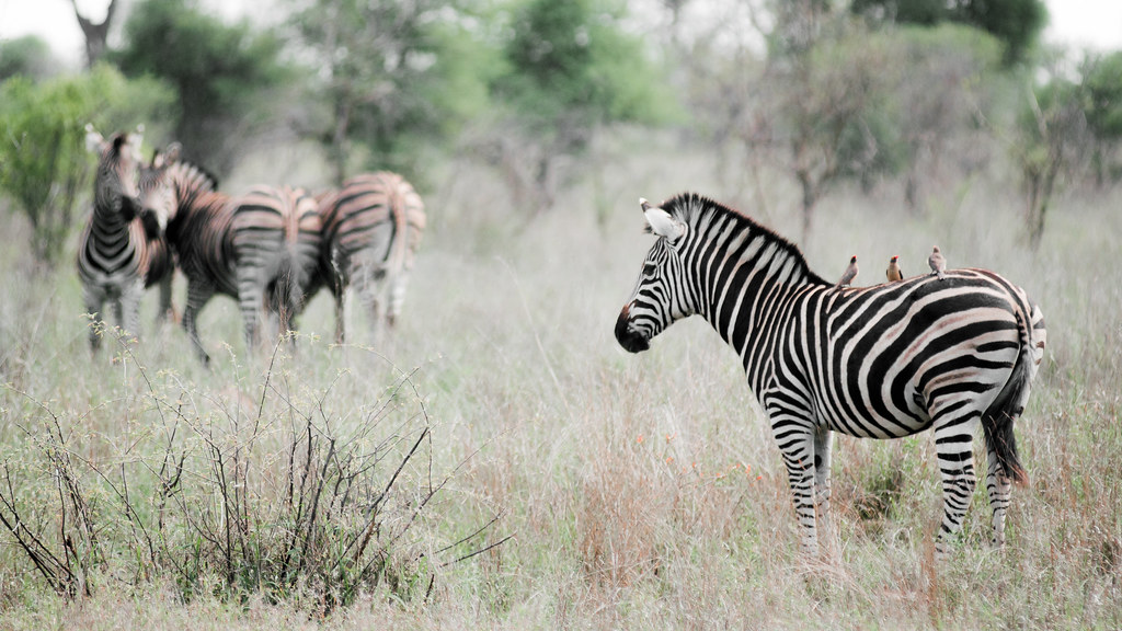Zebra and friends