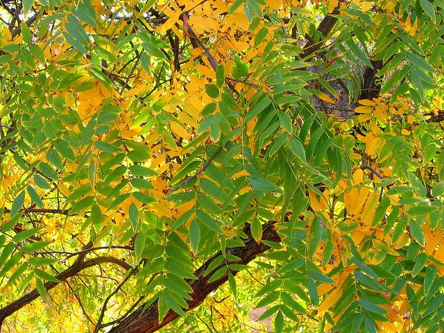 Autumn leaves turning...
