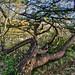 bomen berkenplashdr