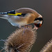 Goldfinch on a teasle