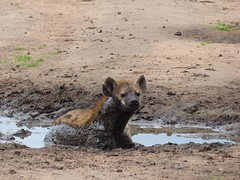 lycaon pictus(0.0), animal(1.0), mammal(1.0), hyena(1.0), fauna(1.0), wildlife(1.0),