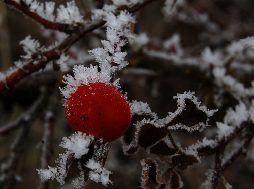 Frosty rose hip