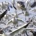2013-01-20 Snow Geese (07) (1024x680) by -jon