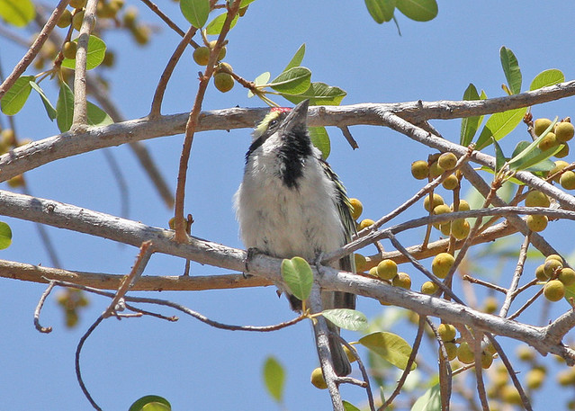 Header of Acacia Pied Barbet