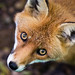 Fox-1 by Ryan Jarvis Photography