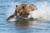 Brown Bear Overwhelms Salmon by Glatz Nature Photography