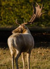 Knole Park Sevenoaks - Fallow Deer Buck