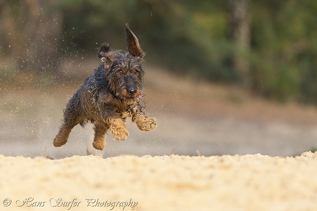 Flying wirehaired Dachshund