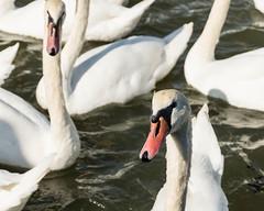 Curious Swan