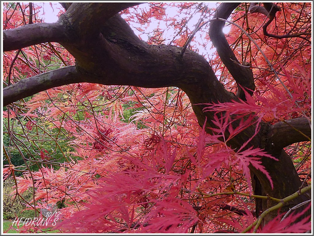 Soft Leaves Like Feathers Acer Palmatum Dissectum Garn Flickr