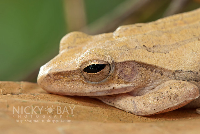 Four-lined Tree Frog (Polypedates leucomystax) - DSC_1693