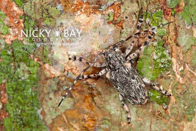 Longhorn Beetle (Cerambycidae) - DSC_1493