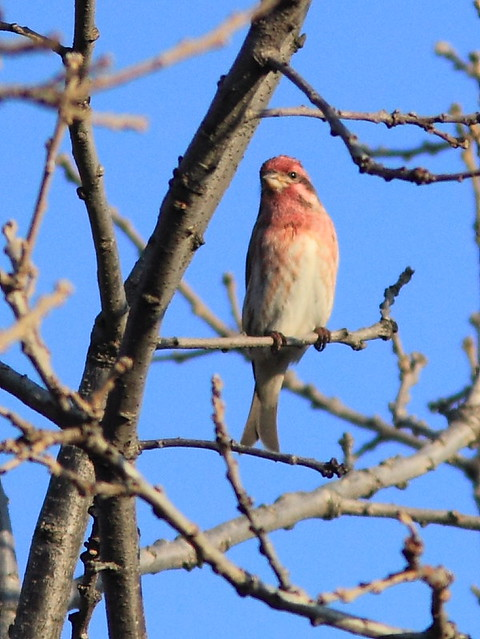 Purple Finch male 20121025