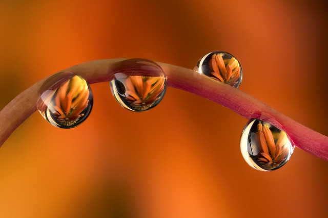 "Kniphotia or ""Red Hot Pokers"" flower refraction in water drops"
