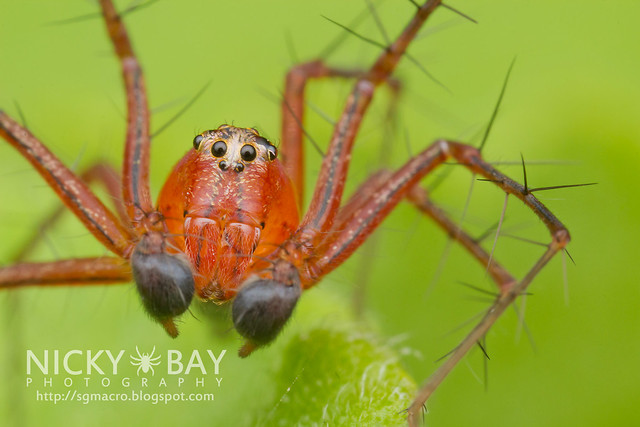Lynx Spider (Oxyopidae) - IMG_5632