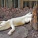 Small photo of Albino American Alligator (Alligator mississippiensis)