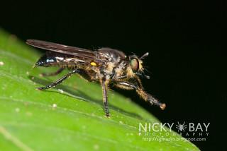 Robberfly (Asilidae) - DSC_0259