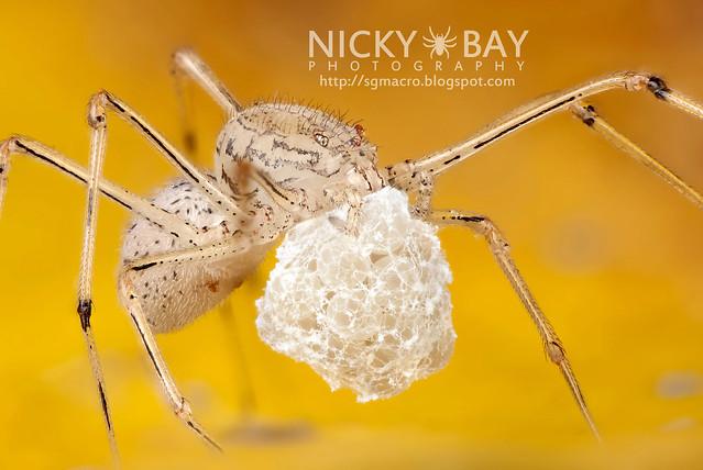 Spitting Spider (Scytodidae) - DSC_0176