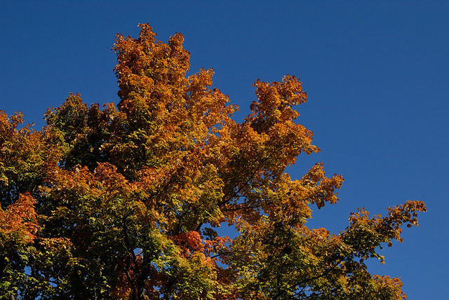 Fall folliage with dark blue sky, at Tower Grove Park, in Saint Louis, Missouri, USA