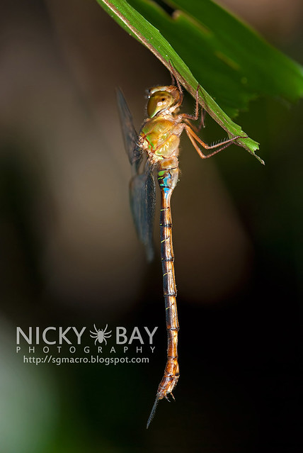 Dragonfly (Anisoptera) - DSC_8971