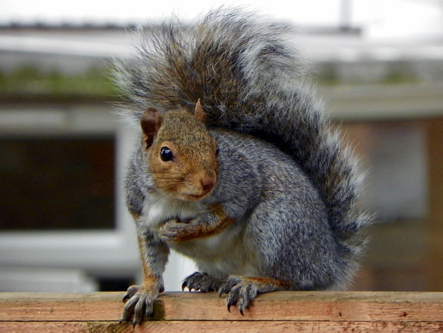 Squirrel Brand  Lb Tins White Chocolate Rum Almonds