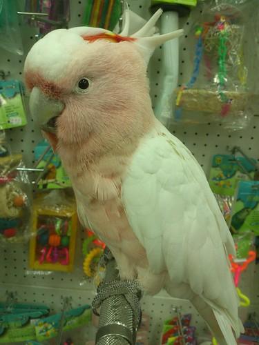 粉紅色超媚的鸚鵡