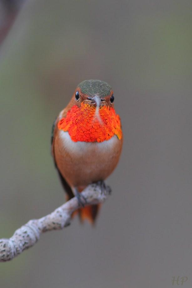 Allen's Hummingbird 010813-4