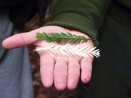 Albino vs regular redwood