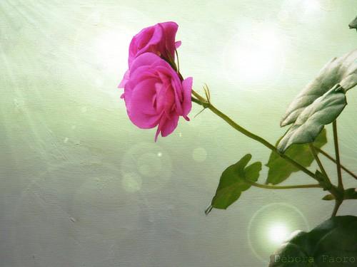 pink brazil flower texture textura brasil flor gimp rosa riograndedosul textured brésil brilho gerânio ibirubá texturizado gerâniopendente