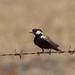 Small photo of Grey-backed Sparrow-lark
