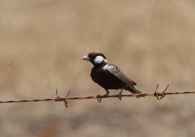 Header of Grey-Backed Sparrow-Lark