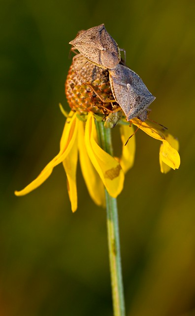 Stink bugs (Euschistus sp.?) mate on a Gray-headed Coneflower, as a nymph clambers around underneath them.  Photographed in the prairie restoration area at Afton State Park, Minnesota.