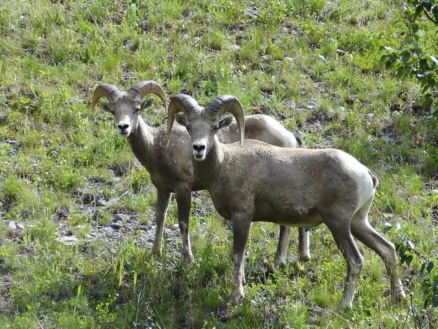Rocky Mountain Big Horn Sheep Peter Lougheed Prov park