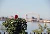 Red Roses Leif Erickson Rose Garden