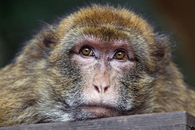 Bored macaque