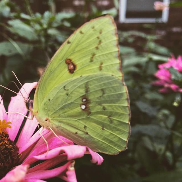 Sulphur Butterfly #sulphurbutterfly #butterfly #butterflies