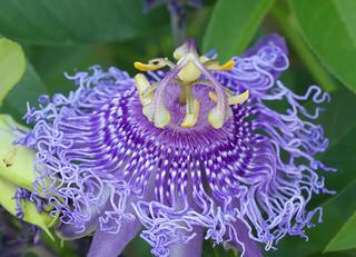 Passion Flower 'Incense' (Passiflora incarnata x cincinnata)