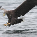 Sea Eagle.  Other images in the comments box. Plus I believe the last two images are of a Golden Eagle being attacked.