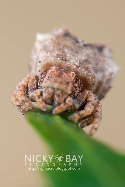 Crab Spider (Thomisidae) - DSC_8855