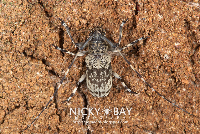 Longhorn Beetle (Cerambycidae) - DSC_6286
