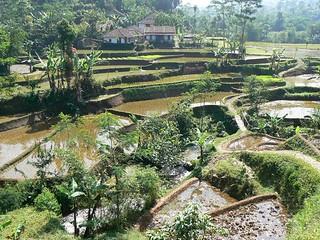Sawahs near Bandung (Java, Indonesia 2009)