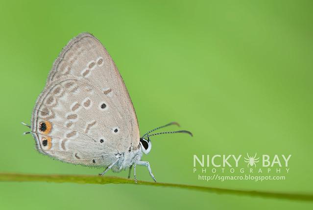 Gram Blue (Euchrysops cnejus cnejus) - DSC_5277